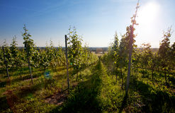 Vineyard in Southwest Germany Stock Photos