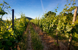 Vineyard in Southwest Germany Royalty Free Stock Photos