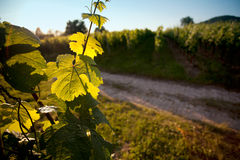 Vineyard in Southwest Germany Stock Photography