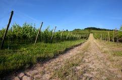 Vineyard in Southwest Germany Stock Photo