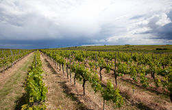 Vineyard in Southwest Germany Royalty Free Stock Photography