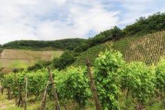 Vineyard in Southwest Germany Rhineland Stock Photo