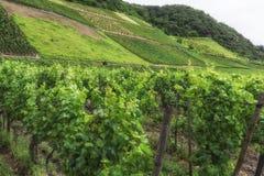 Vineyard in Southwest Germany Rhineland Stock Images