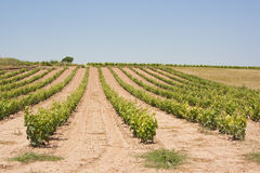Vineyard in spain. Image of a vineyard and wine plants hill in La Rioja, Spain royalty free stock photo
