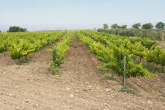 Vineyard in spain. Image of a vineyard and wine plants hill in La Rioja, Spain Royalty Free Stock Photography