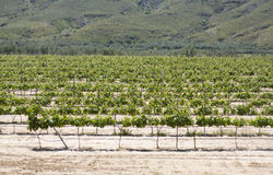 Vineyard in Spain Stock Photography