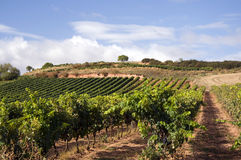 Vineyard in Spain Stock Image