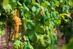 Vineyard in Spain Royalty Free Stock Images