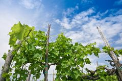 Vineyard in spring Royalty Free Stock Photography