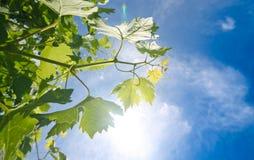 Vineyard in spring Stock Photos