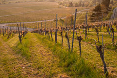Vineyard in spring. Morninglight in a German vineyard royalty free stock photos