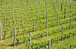 Vineyard in spring. View of a vineyard in spring. green foliage. no grape Royalty Free Stock Photos
