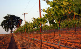 Vineyard in Spring Stock Photography
