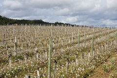 Vineyard in spring, Aude,  France Royalty Free Stock Images