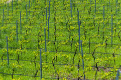 Vineyard in spring, Bamberg Stock Photos