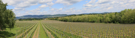 Vineyard in the spring Royalty Free Stock Images