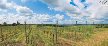 Vineyard in the spring Royalty Free Stock Image