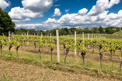 Vineyard in the spring Royalty Free Stock Photography