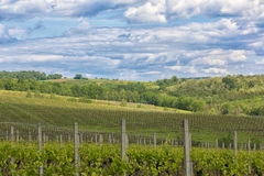 Vineyard in the spring Royalty Free Stock Photo