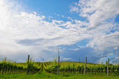Vineyard in spring Stock Image
