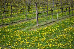 A vineyard at spring with the meadow covered by dandelion flowers royalty free stock photos