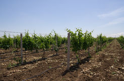 Vineyard. Vineyard in spring in Crimea Royalty Free Stock Photos