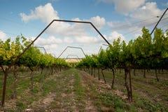 Vineyard in spring in Hanadiv valley Stock Photo