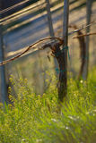 Vineyard in Spring Stock Photo