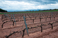 Vineyard at Spring, La Rioja (Spain) Stock Photography