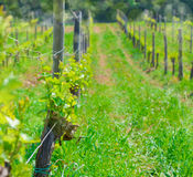 Vineyard in spring ouf of focus Royalty Free Stock Photography
