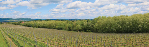 Vineyard in the spring - panorama Royalty Free Stock Image