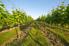 Vineyard in spring sunny day Royalty Free Stock Photos