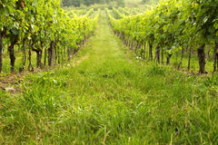 Vineyard in spring sunny day Stock Images