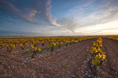 Vineyard on a spring sunset Royalty Free Stock Image