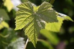 Vineyard in spring time Stock Photos