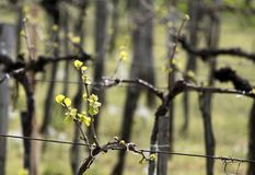 Vineyard in spring time Royalty Free Stock Images
