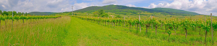 Vineyard in the spring time Stock Photography