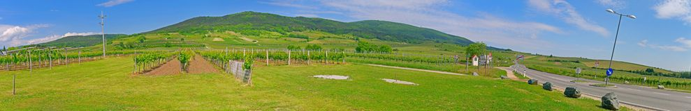 Vineyard in the spring time Royalty Free Stock Image