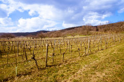 Vineyard in spring time Royalty Free Stock Photos