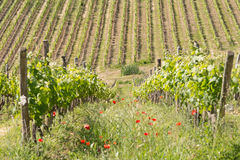 A vineyard during spring in Tuscany. A vineyard of Chianti wine during spring in Tuscany royalty free stock images