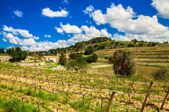 Vineyard in spring. View of vineyard somewhere in a central Majorca in spring Stock Photography