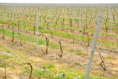 Vineyard in springtime Stock Images