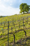 Vineyard in springtime Germany Royalty Free Stock Photography