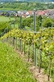 Vineyard in springtime Germany. Vineyard in springtime. Alsbacher Schöntahl in Bergstrasse, Germanys second smallest wine district. Alsbach, Hessen, germany Stock Photo