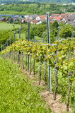 Vineyard in springtime Germany Stock Photo