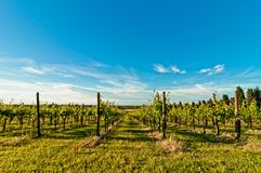 Vineyard during springtime in Reggio Emilia, italy. A vineyard during springtime in Reggio Emilia hills in Emilia Romagna, Italy Stock Photography