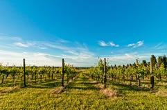 Vineyard during springtime in Reggio Emilia, italy Stock Photography