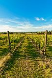 Vineyard during springtime in Reggio Emilia, italy. A vineyard during springtime in Reggio Emilia hills in Emilia Romagna, Italy stock image