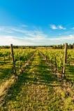Vineyard during springtime in Reggio Emilia, italy Stock Image