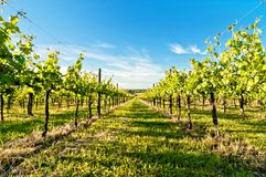 Vineyard during springtime in Reggio Emilia, italy. A vineyard during springtime in Reggio Emilia hills in Emilia Romagna, Italy stock images